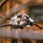 Császárbajszú tamarinok születettek a Nyíregyházi Állatparkban