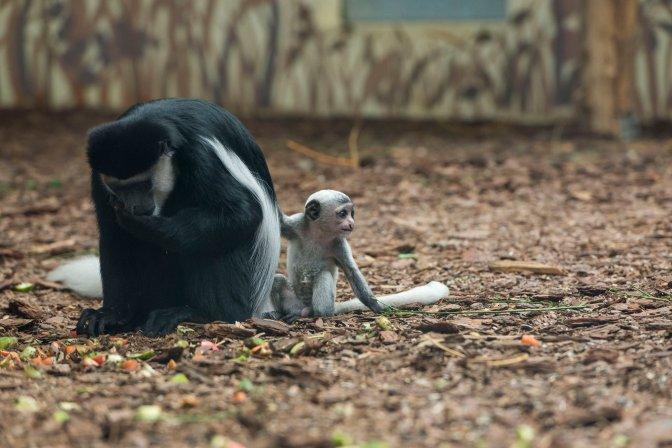 Veszprém, 2016. július 29. Kéthetes zászlós farkú kolobusz (Colobus guereza) anyjával a veszprémi állatkertben 2016. július 29-én. A rendkívül látványos, mozgékony majomfaj, a zászlós farkú kolobusz, más néven zászlós farkú gereza Közép-Afrika elsõsorban bambusz- és esõerdeinek lakója. MTI Fotó: Bodnár Boglárka