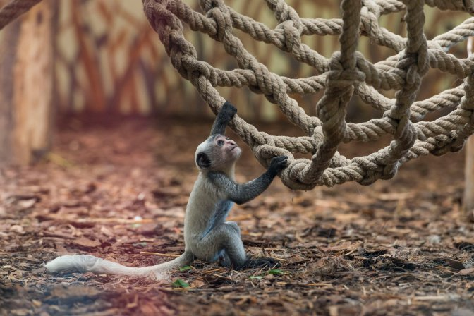 Veszprém, 2016. július 29. Kéthetes zászlós farkú kolobusz (Colobus guereza) a veszprémi állatkertben 2016. július 29-én. A rendkívül látványos, mozgékony majomfaj, a zászlós farkú kolobusz, más néven zászlós farkú gereza Közép-Afrika elsõsorban bambusz- és esõerdeinek lakója. MTI Fotó: Bodnár Boglárka