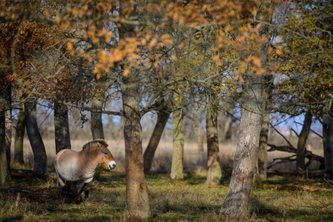 Hortobágy község, 2016. november 19. Egy ázsiai vadló (Przewalski-ló, Equus ferus przewalskii) a Hortobágyi Nemzeti Park (HNP) területén 2016. november 19-én. Egy oroszországi, mintegy 3 ezer hektár kiterjedésû orenburgi vadlórezervátumba telepítenek be tizenöt, Hortobágyon nevelkedett vadlovat az Európai Przewalski ló Tenyésztési Program (EEPP) keretében. MTI Fotó: Czeglédi Zsolt