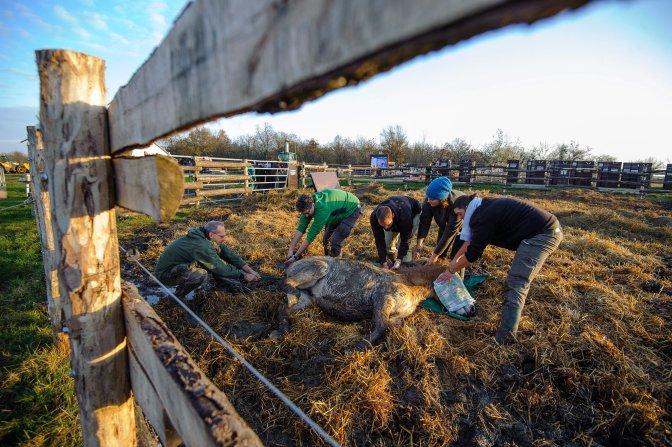 Hortobágy község, 2016. november 19. Egy kábítólövedékkel meglõtt ázsiai vadló (Przewalski-ló, Equus ferus przewalskii) befogása után a Hortobágyi Nemzeti Park (HNP) területén, mielõtt elszállítanák egy oroszországi vadlórezervátumba 2016. november 19-én. A mintegy 3 ezer hektár kiterjedésû orenburgi rezervátumba tizenöt, Hortobágyon nevelkedett vadlovat telepítenek be az Európai Przewalski ló Tenyésztési Program (EEPP) keretében. MTI Fotó: Czeglédi Zsolt