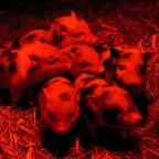 Hideg idő – Törpemalacok a debreceni állatkertben